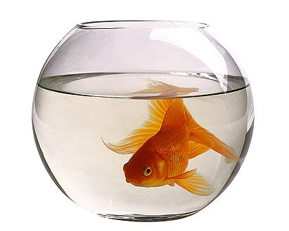 Goldfish in a bowl - photo#19